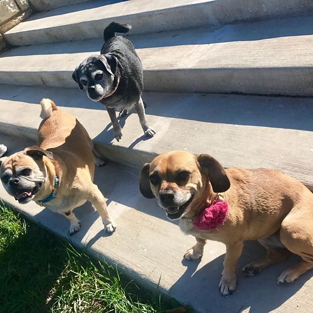 It's a puggle party at West Terrace Dog Park. So fun to meet Lester and Chloe today! #WTDP #KCParks #PuggleInThePark #ThreePugglesInThePark